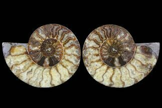 Cleoniceras - Fossils For Sale - #91179