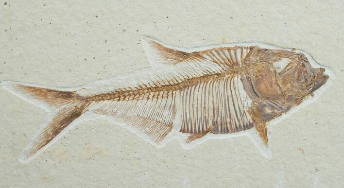 "4.4"" Diplomystus Fossil Fish - Wyoming"
