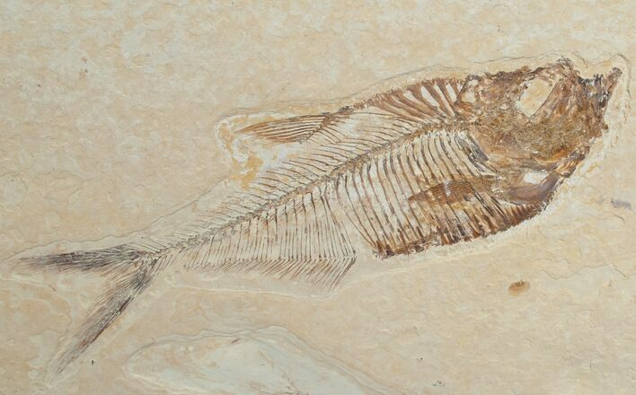 "4"" Diplomystus Fossil Fish - Wyoming"
