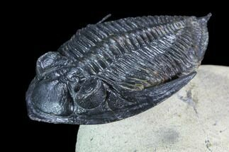 "1.9"" Flying Zlichovaspis Trilobite - Atchana, Morocco For Sale, #71192"