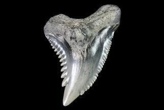"Buy .84"" Hemipristis Shark Tooth Fossil - Virginia - #91729"