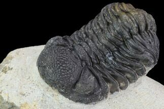 "Buy Bargain, 2.2"" Barrandeops Trilobite - Visible Eye Facets - #91918"