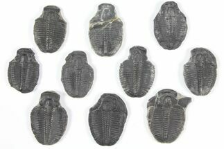 "Buy Wholesale Lot: 1-1.25"" Elrathia Trilobite Molt Fossils - 10 Pieces - #92101"