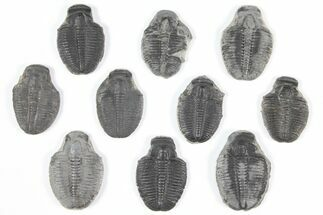 "Wholesale Lot: 1"" Elrathia Trilobite Molt Fossils - 10 Pieces For Sale, #92105"