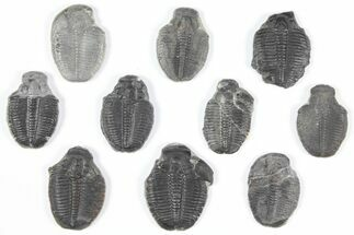 Elrathia kingii - Fossils For Sale - #92109