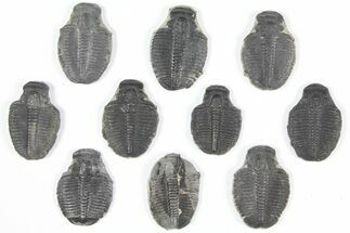 "Wholesale Lot: 1"" Elrathia Trilobite Molt Fossils - 10 Pieces For Sale, #92111"