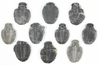 "Buy Wholesale Lot: 1"" Elrathia Trilobite Molt Fossils - 10 Pieces - #92116"