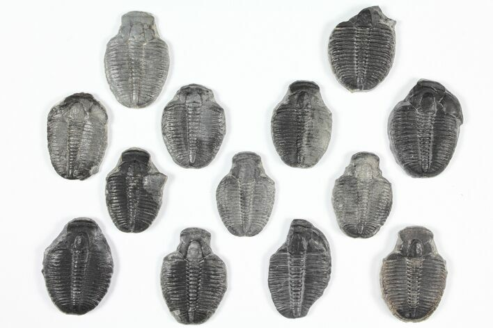 "Lot: 1"" Elrathia Trilobite Molt Fossils - 13 Pieces"