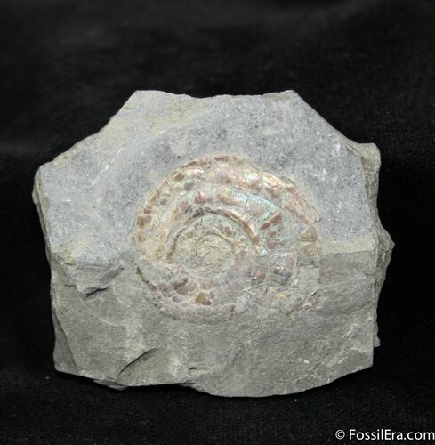 Psiloceras From Great Britain (1.04 inches wide)