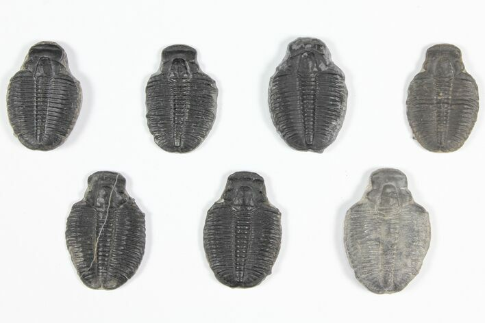 "Wholesale Lot: 1 1/4"" Elrathia Trilobite Molt Fossils - 7 Pieces"