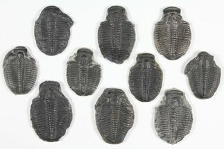 "Wholesale Lot: 1 1/2"" Elrathia Trilobite Molt Fossils - 10 Pieces For Sale, #92141"
