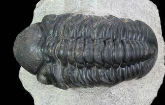 "Bargain, 2.6"" Reedops Trilobite - Laatchana, Morocco For Sale, #91928"