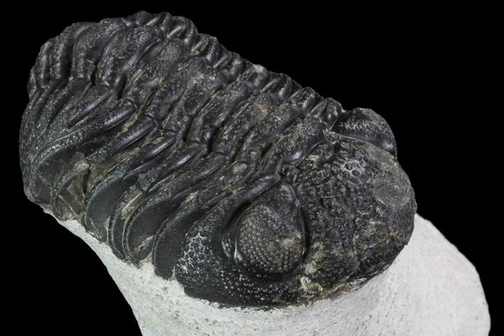 "Bargain, 2.3"" Barrandeops Trilobite - Visible Eye Facets"
