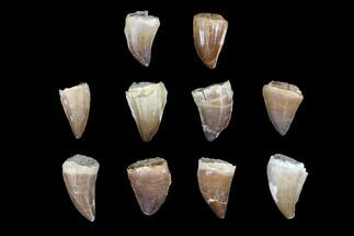 "Wholesale Box: 1 to 1.5"" Fossil Mosasaur Teeth - 10 Pieces For Sale, #92387"