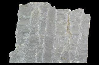 "Buy 6.9"" Polished Stromatolite (Kussiella) Slab - Russia - #91813"