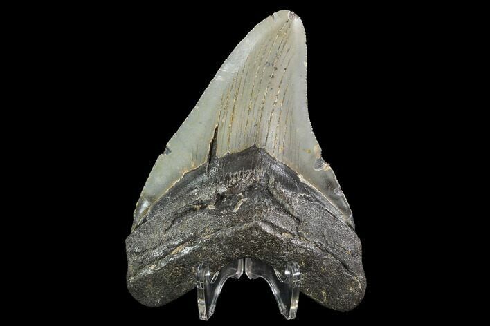 "4.65"" Fossil Megalodon Tooth - North Carolina"