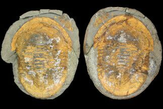 "Buy 7.4"" Asaphid Trilobite in Concretion - Pos/Neg - #92482"