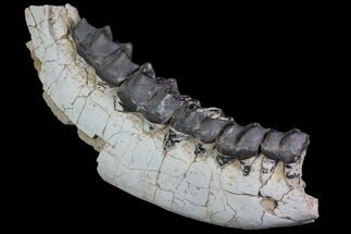 "Buy 16"" Titanothere (Megacerops) Jaw Section - South Dakota - #92707"