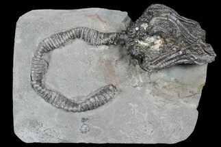3D Platycrinites Crinoid Fossil - Crawfordsville, Indiana For Sale, #92765