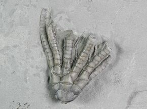 "1.2"" Crinoid (Abrotocrinus) Fossil - Crawfordsville, Indiana For Sale, #92762"