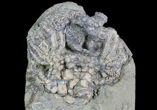"Buy 2.4"" Crinoid (Actinocrinites) Crown With Starfish - Crawfordsville - #92761"