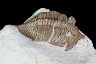 Huntonia lingulifer - Fossils For Sale - #92751