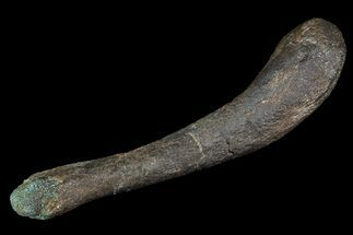 "3.6"" Unidentified Theropod (Raptor) Humerus - Montana For Sale, #92816"