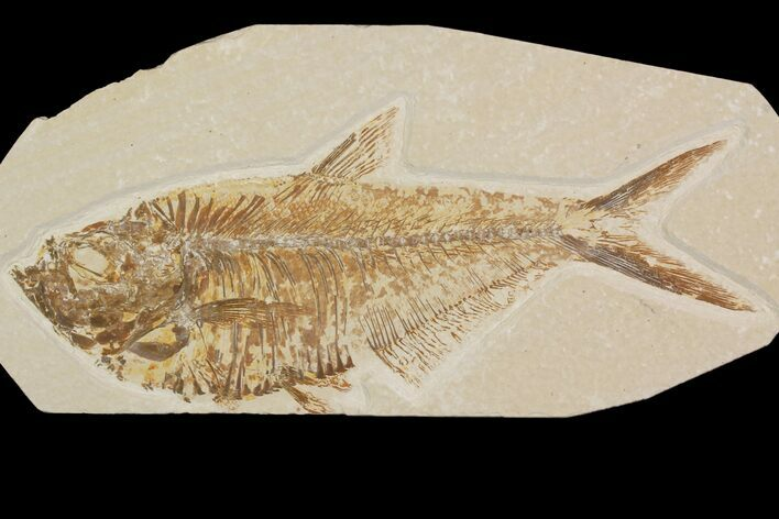 "Detailed, 6.4"" Diplomystus Fossil Fish - Wyoming"