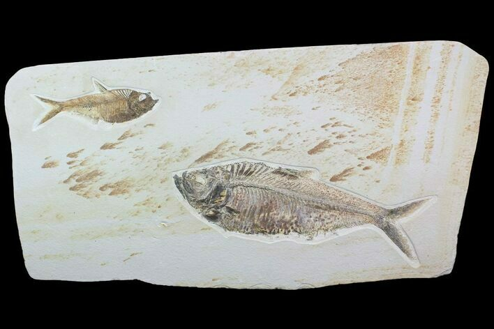 "28"" Wide Double Diplomystus Fossil Fish Plate - Ready To Hang"