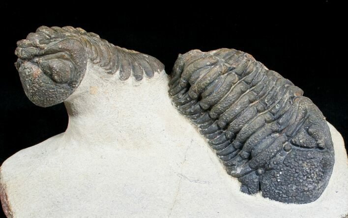 Two Large, Bumpy Phacops Trilobites