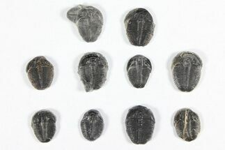 "Buy Lot: 1/2"" Elrathia Trilobites - 10 Pieces - #91936"