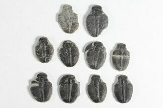 "Wholesale Lot: 3/4"" Elrathia Trilobite Molt Fossils - 10 Pieces For Sale, #92045"