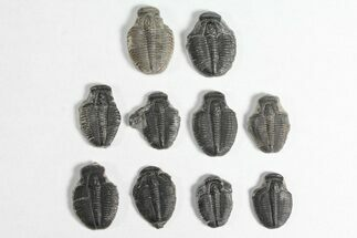 "Wholesale Lot: 3/4"" Elrathia Trilobite Molt Fossils - 10 Pieces For Sale, #92051"