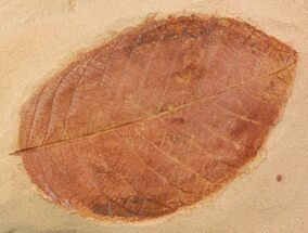 "2.8"" Red Fossil Leaf (Rhamnites) - Montana For Sale, #93662"