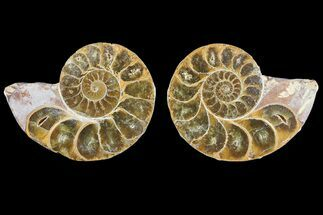 "2.9"" Cut & Polished, Agatized Ammonite Fossil - Jurassic For Sale, #93530"