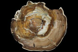 "6.1"" Petrified Wood (Cherry) Round - McDermitt, Oregon For Sale, #93830"