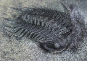 ".48"" Rare Meadowtownella Trilobite - Walcott-Rust Quarry, NY For Sale, #93911"