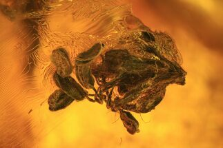Detailed Fossil Male Oak Flower In Baltic Amber For Sale, #93983