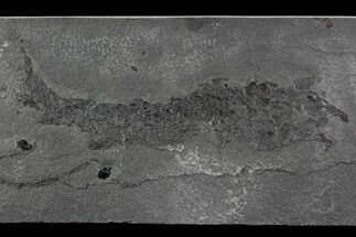 "Rare, 9.2"" Devonian Fish (Gyroptychius) - Scotland For Sale, #93941"