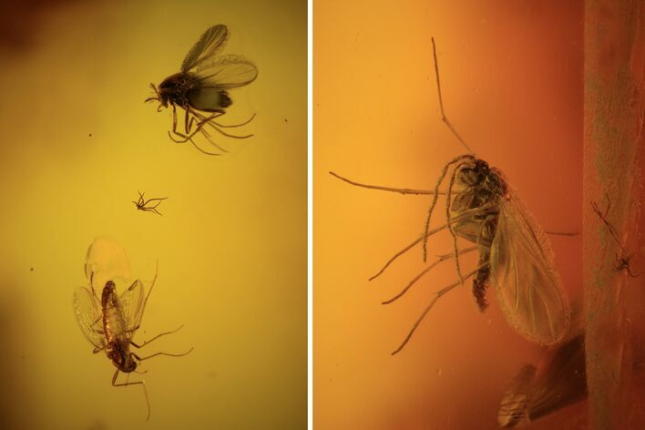Four Detailed Fossil Flies (Diptera) In Baltic Amber