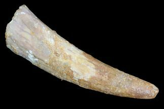 "1.29"" Pterosaur (Coloborhynchus) Tooth - Morocco For Sale, #94136"