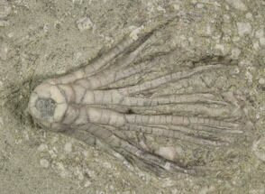 "1"" Scytalocrinus Crinoid - Crawfordsville, Indiana For Sale, #94355"