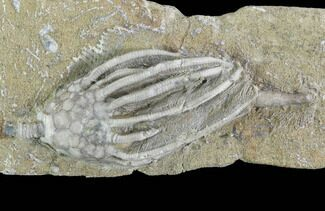 "2.2"" Crinoid (Macrocrinus) Fossil - Crawfordsville, Indiana For Sale, #94451"