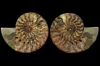 Cleoniceras - Fossils For Sale - #94194