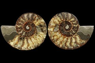 "7.3"" Cut & Polished Ammonite Fossil - Agatized For Sale, #94196"