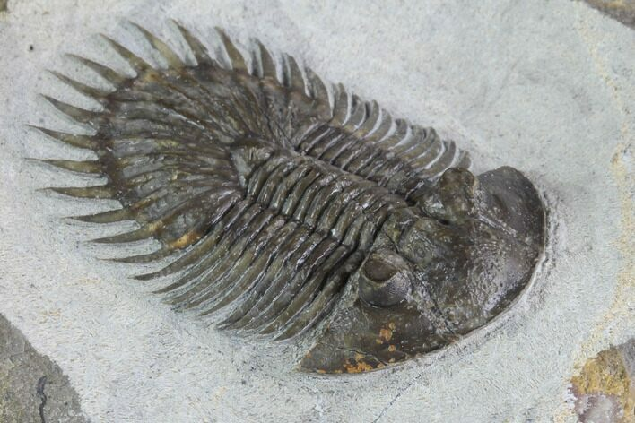 "1.55"" Long-Spined Thysanopeltis Trilobite - Bigaa, Morocco"