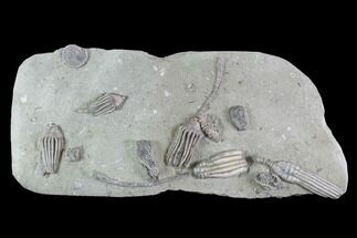 "Buy 10.8"" Crinoid Plate (6 species) - Crawfordsville, Indiana - #94828"