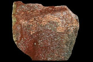 "3.8"" Bright Red, Agatized Dinosaur Bone (Gembone) Slab  For Sale, #94913"