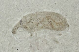 Curculionidae (Family) - Fossils For Sale - #94929