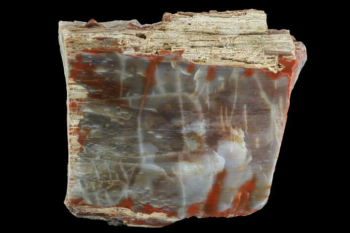 "6.1"" Vibrantly Colored, Polished Petrified Wood Section - Arizona"